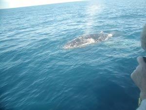水上に出る度に潮を吹く Q1. 鯨と魚との違いは? 鯨は魚と同じく水中で過ごしますが、温血動物の